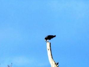 Osprey at Threave