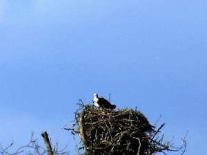 Threave Castle Osprey